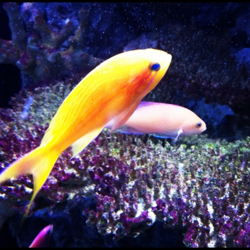 91 best images about goldfish on pinterest shark fin for Best sashimi fish