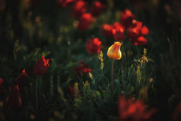 Калмыкия одно из уникальных мест России, где тюльпаны растут в естественных условиях на нетронутых цивилизацией территориях, а на острове, окружённом солёной водой, обитают дикие мустанги. Место, где можно встретить кудрявого и розового пеликанов, сайгако