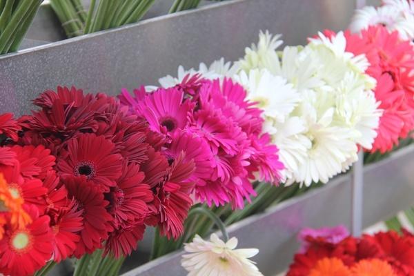 Gerberas skylineflowers