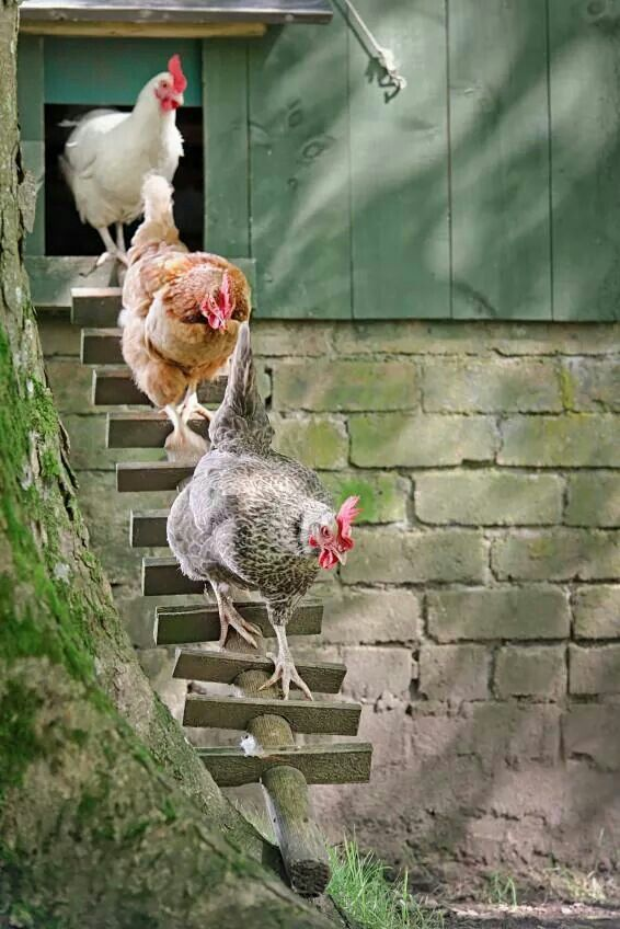 Wonderful farmhouse chickens walking down a highly questionable ramp from their coop. Step down carefully, girls! animals birds
