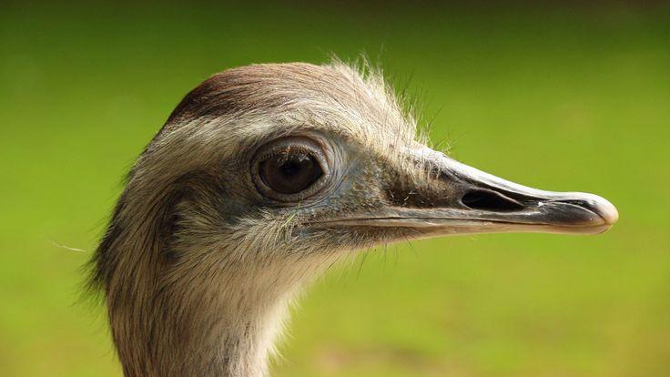 #animal #animal photography #beak #bird #close up #macro #rhea bird