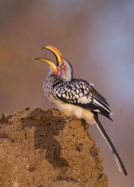 Southern Yellow-Billed Hornbill  Photographer - Mark Dumbleton