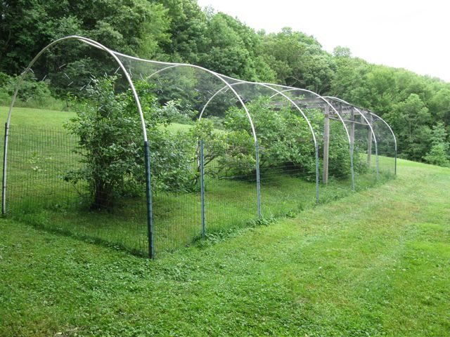 Blueberry Cages Playing In The Dirt Pinterest