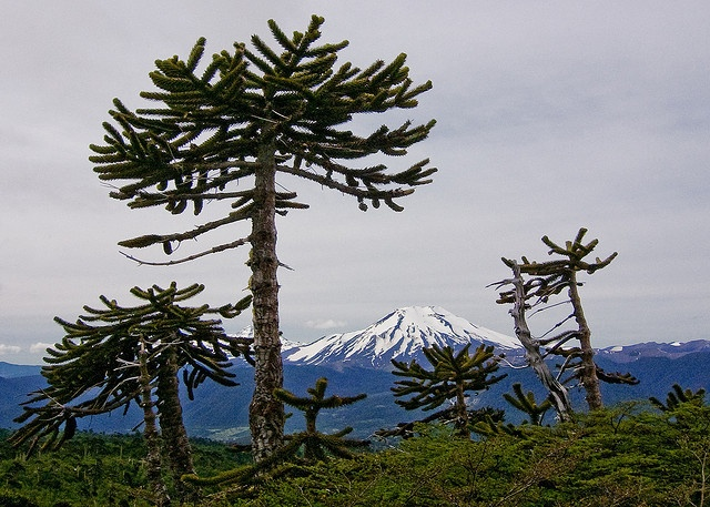 Lonquimay Volcano, Araucaria araucana trees, Chile