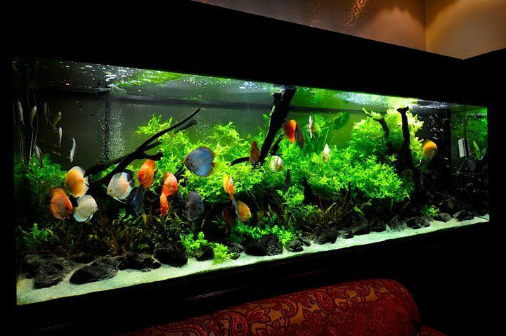 An AWESOME Discus aquarium.