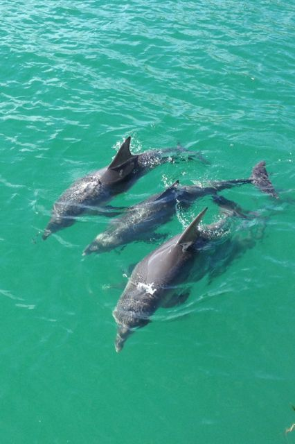 Pod of Bottlenose Dolphins