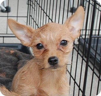 Petunia - Chihuahua/Yorkie mix - 3 months old - Derry, NH - Rookie's Rescue - New England - http://www.adoptapet.com/pet/9700768-derry-new-hampshire-chihuahua-mix