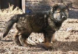 نتيجة بحث الصور عن red sable german shepherd baby