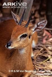 Image result for oribi animal