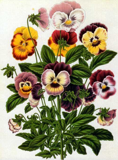 Dutch artist Abraham Jacobus Wendel (1826-1915).Viola tricolor appears in Heinrich Witte's Flora, published in 1868.