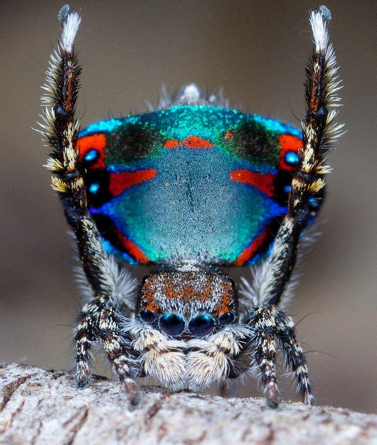 Die Farbenpracht der Pfauenspinne