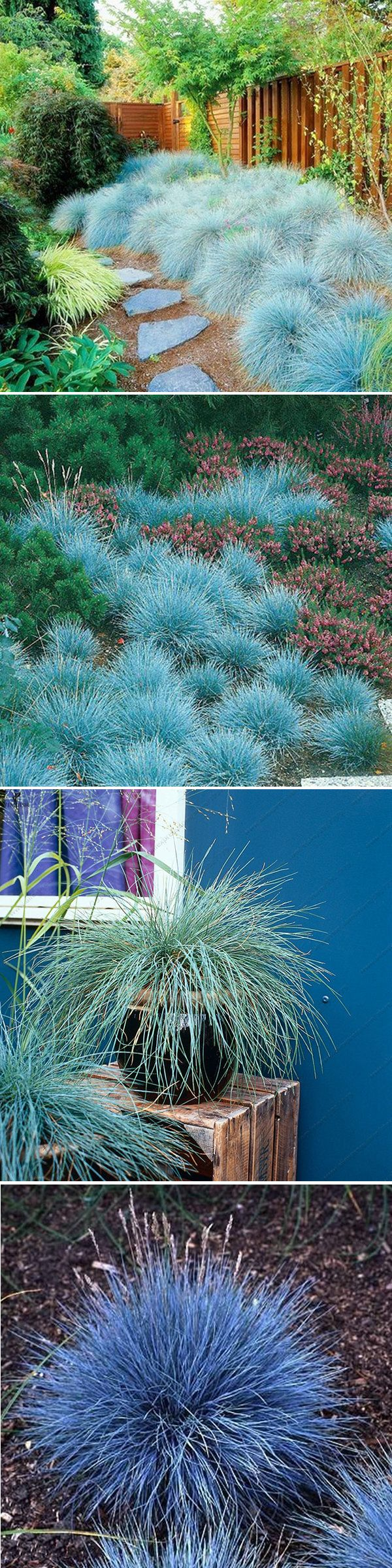 Best way to plant grass seed - 100pcs Blue Fescue Grass Seeds Perennial Hardy Ornamental Grass Home Garden