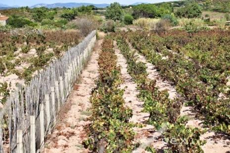Calasetta: Carignano vineyard