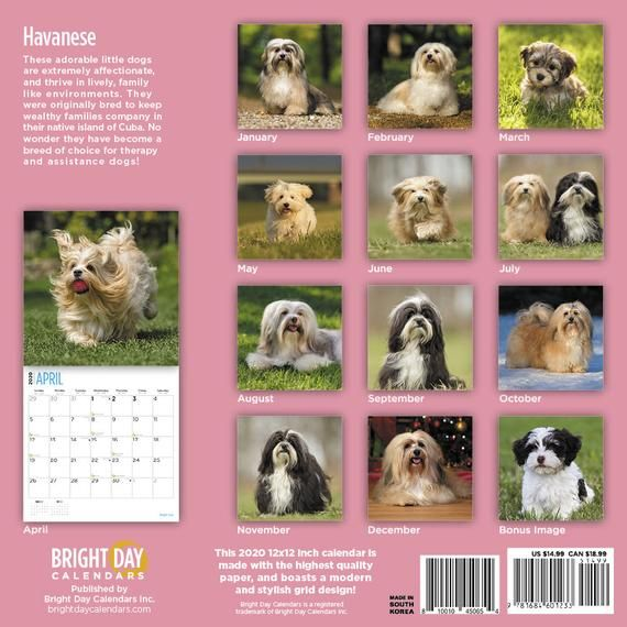 2020 Havanese 16 Month 12 X 12 Wall Calendar Cute Longhaired Puppy