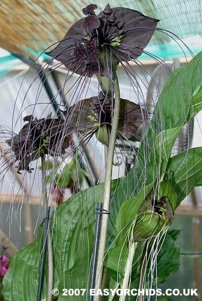 "Tacca Chantieri ""Black Beauty"" (Bat Plant)    Google Image Result for http://www.easyorchids.co.uk/shop/images/P/image-39.jpg"
