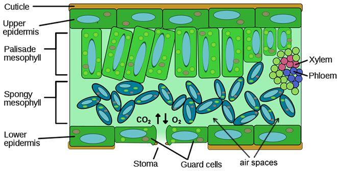 14 best plants images on pinterest ap biology biology lessons and life science. Black Bedroom Furniture Sets. Home Design Ideas