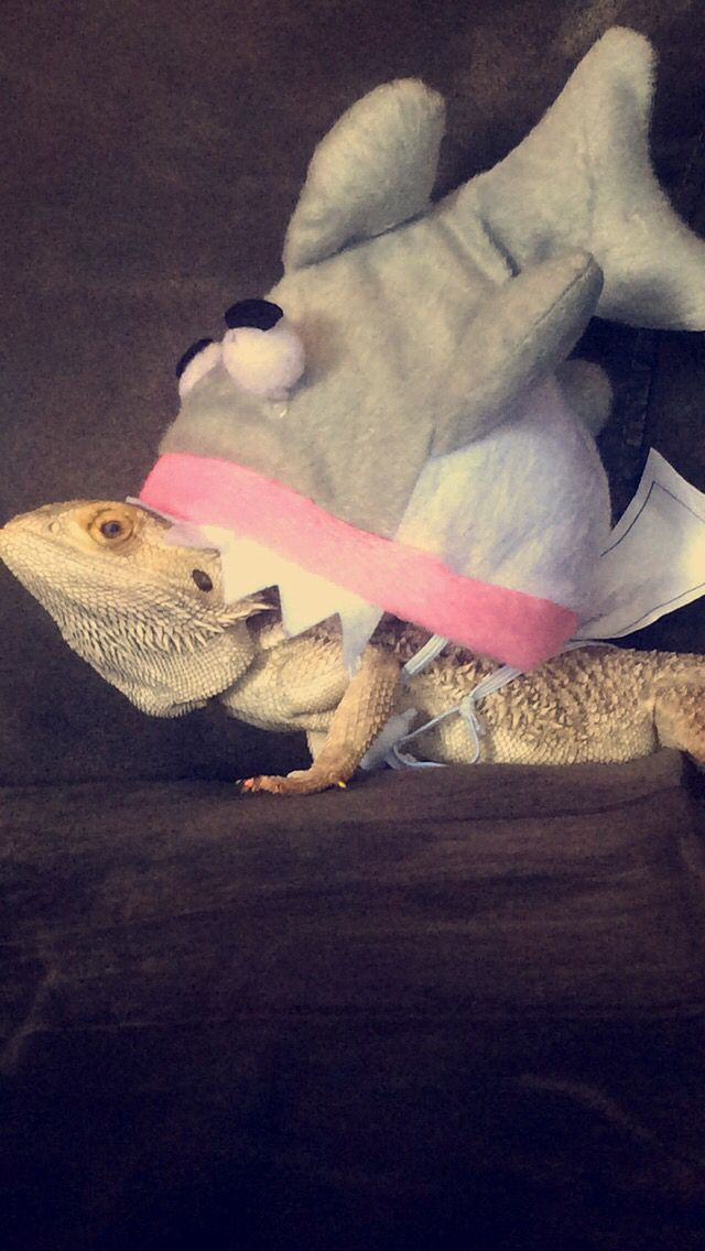 My lizard participated in Halloween as well. (Bearded dragon in a shark costume) & 31 best Bearded Dragon Costumes images on Pinterest | Dragon costume ...