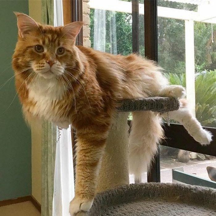 Pin On Big Kitties