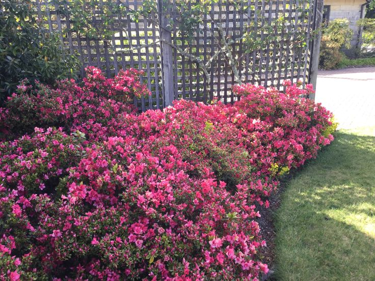 Azalea in flower