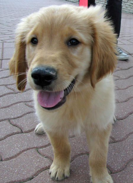 """Jefferson the Golden Retriever is a sweet puppy who loves all people and dogs alike. He loves stuffed animals and fetching tennis balls, and one of his new favorite games is """"nip the big dog's butt!"""" He's still learning his basic commands and to potty outside, but he's very food motivated and will learn very quickly!"""