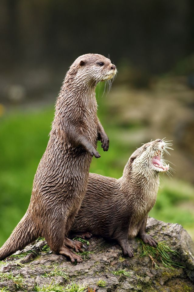 River otters - Things you otter know about these charismatic mammals found around the world.