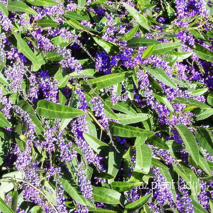 RAMBLINGS FROM A DESERT GARDEN....: A Lilac for the Desert? Another Great Lesser-Known Plant to Try