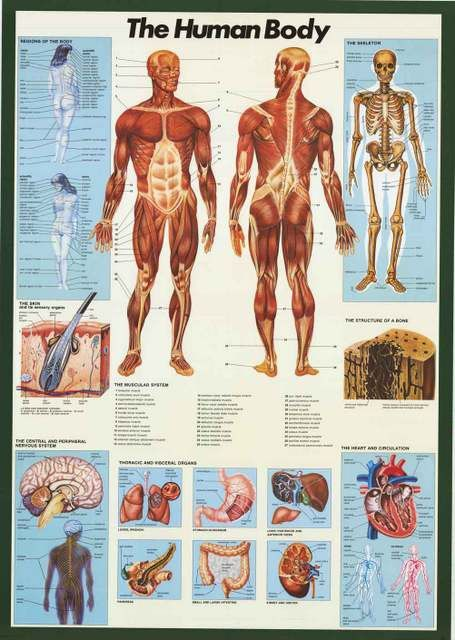 A great anatomy of the human body infographic poster! Perfect for classrooms, doctors' offices, and Med Students. Fully licensed. Ships fast. 27x39 inches. Check out the rest of our amazing selection