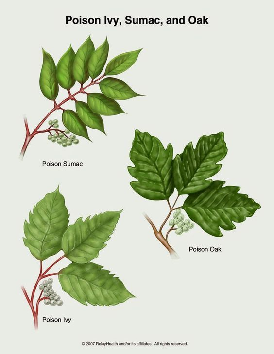 How to identify Poison Ivy, Poison Oak and Poison Sumac.