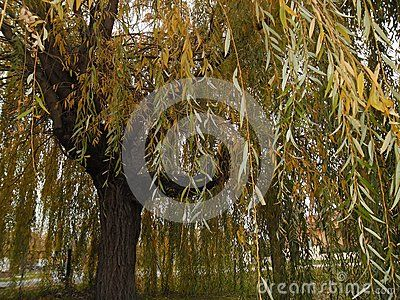 Close leaves of a shallow willow tree.