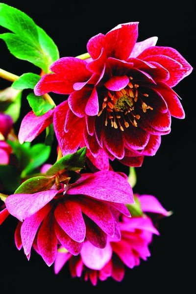 Amethyst Gem Hybrid Lenten Rose for sale buy Helleborus x hybridus 'Amethyst Gem'