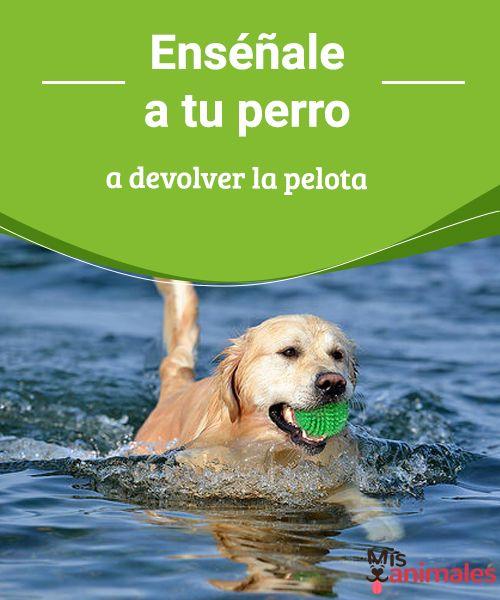 Enséñale a tu perro a devolver la pelota  De todos losjuegosque puedes practicar con tu perro, lanzar la pelota y hacer que la devuelva es uno de los más divertidos que existen. #adiestramiento #pelota #juegos #práctica