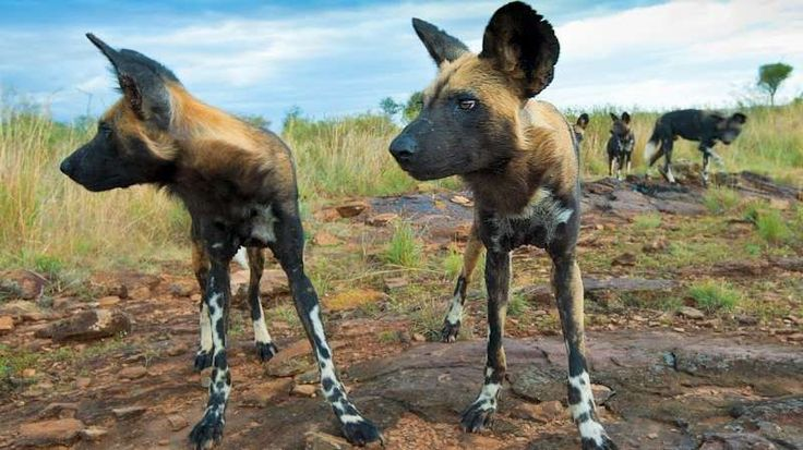 Kenya - Wild Dog Photographic Safari - #Wilddogs, #Laikipia, #Kenya, #AlbieVenter  #PhotoSafari #Steppes The Laikipia Plateau, overlooking the imperious Mt Kenya is not just a playground for wild dogs but is also home to elephant, giraffe, hippo, lion, leopard, cheetah, hyena, zebra, antelope, warthog and a plethora of beautiful birds.