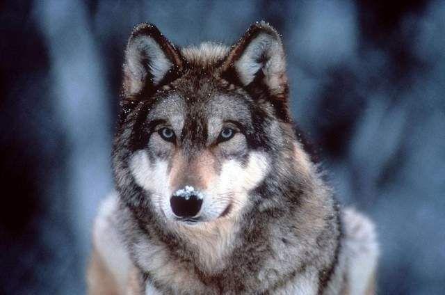 malamute wolf hybrid - photo #3