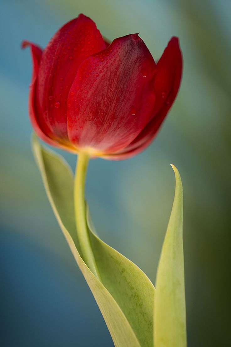 Tulip perfection by Julia Carvalho