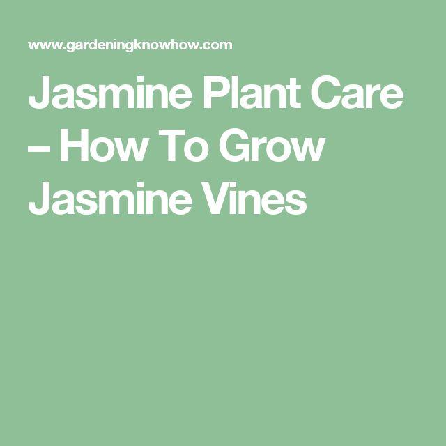 Jasmine Plant Care – How To Grow Jasmine Vines