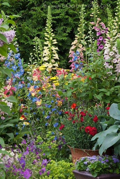 Garden of many colors...Beautiful Foxglove