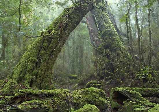 Ancient Rainforest by Geoffrey Chang Taken near Cradle Mountain Lodge, Tasmania.