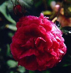 Manette / Nanette Gallica 90-120cm sommar Zon 4 solitär eller som buske ovanlig och mycket fylld