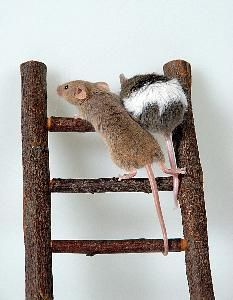 7 best ratas images on pinterest rats ants and cleaning - Como matar ratones ...