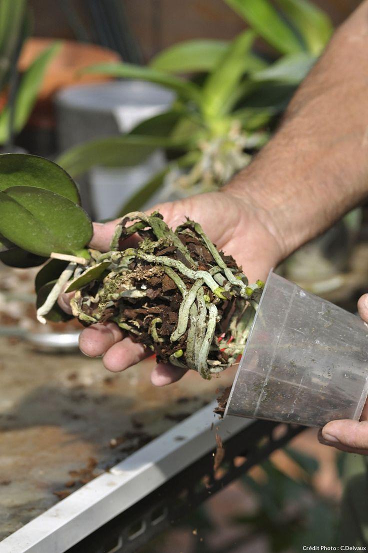 Les 25 meilleures id es de la cat gorie rempoter une orchid e sur pinterest rempoter orchid e - Comment rempoter une plante d exterieur ...
