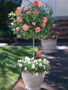 Knockout Rose  trees -  this photo reminds me to share my view of knock out rose trees with you - today I planted four knock out rose trees for this summer's garden in containers - two double red & 2 double pink trees.  They are disease free & will bloom all summer long -  They are one of the most impressive additions in my farmhouse garden !