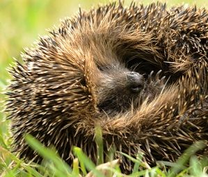 The clocks have gone back, the nights are drawing in and the first frosts are already occurring, so it really feels like winter is on its way. What does this mean for our hedgehogs and other woodland wildlife?