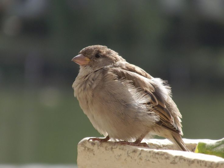 Sparrow by Adagem.deviantart.com on @DeviantArt