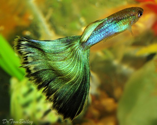 A Beautiful Mature Metallic Green Male Guppy To See More