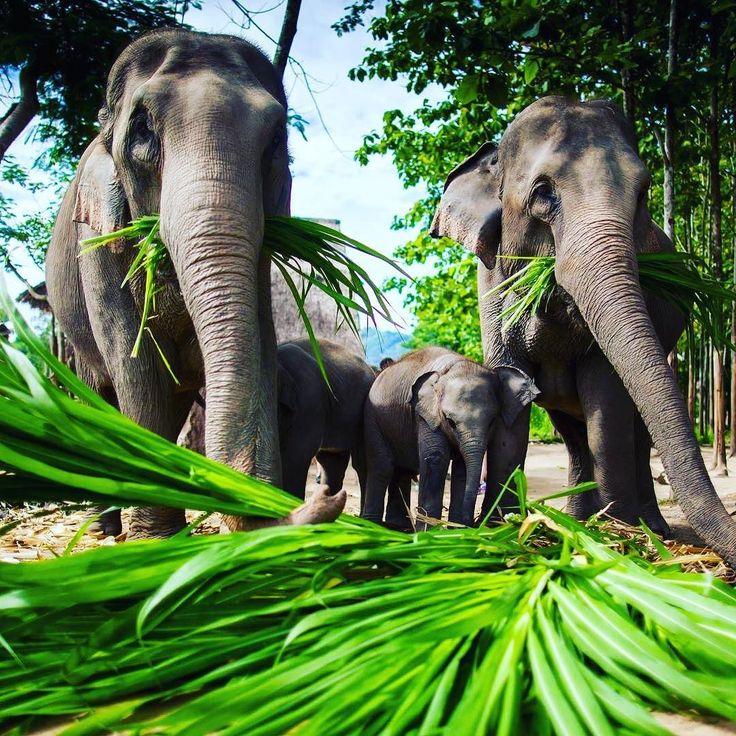 Smacznego! #elephant #słoń #tajlandia #thailand #lovetravel #tropical #travel #travellife #travellife #travelpic #wakacje #podróże #podróż #travelplanet #traveluje