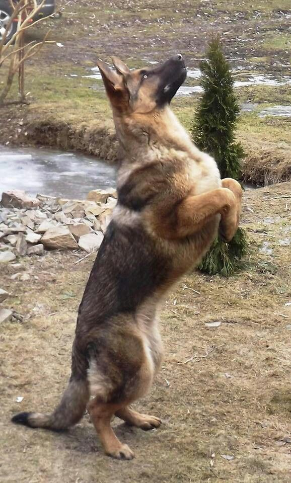 This dog is so strong, my Maximus does this also, in the backyard while watching squirrels run through the tree tops.