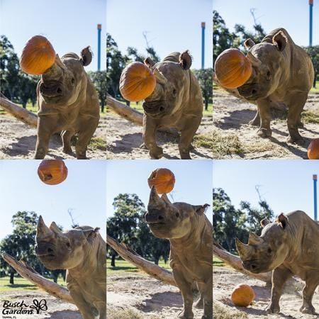 Busch Gardens Tampa's black rhinoceros, Forest, enjoyed some pumpkins in preparation for Halloween. As part of his daily enrichment, the animal care team provided several pumpkins for Forest!