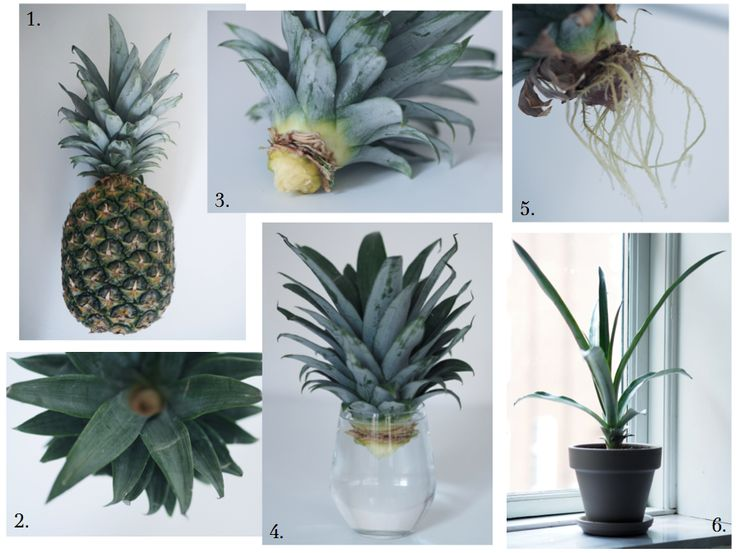 DIY: GROW YOUR OWN PINEAPPLE PLANT | HOMESiCK | Bloglovin'