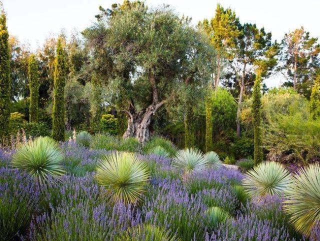 Mediterranean Garden Olive Tree Bay Area Brandon Tyson Berkeley