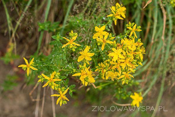 Dziurawiec Plants Herbs Beauty Health
